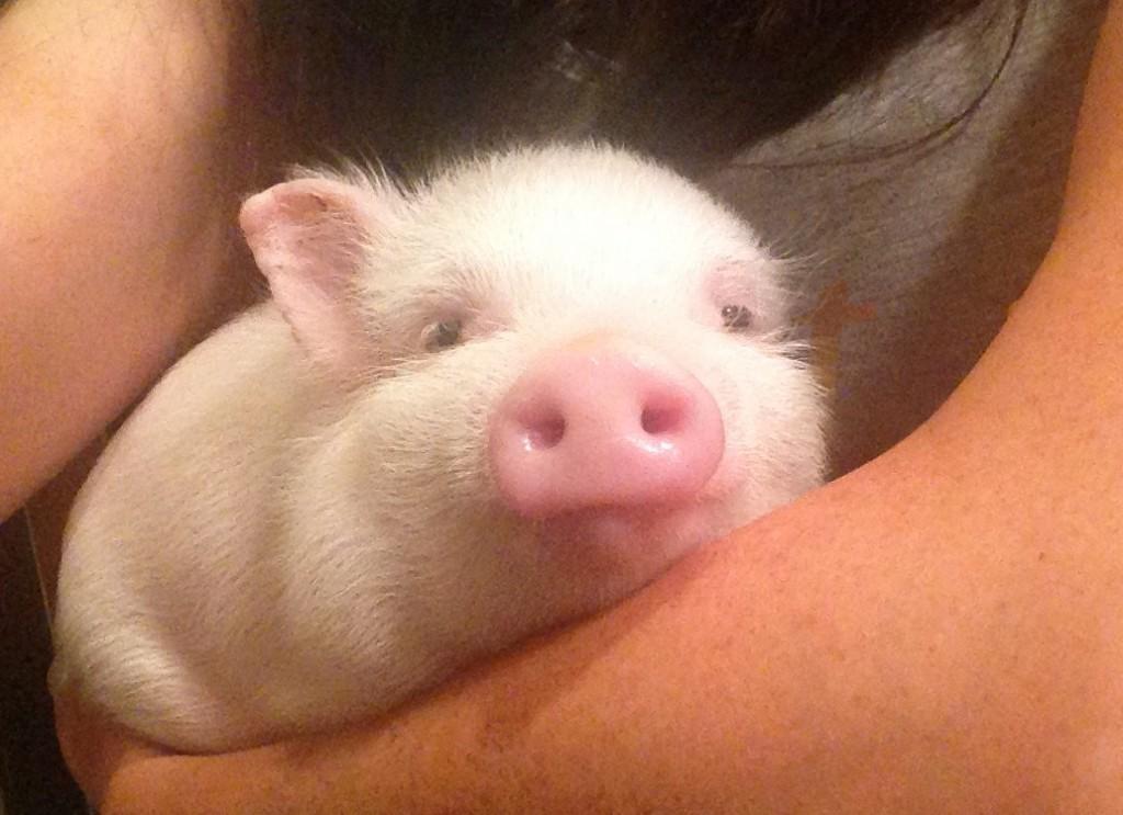 2015 Sweet Pig